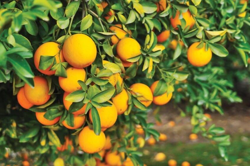 citrus groves