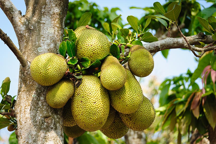 Florida jackfruit facts